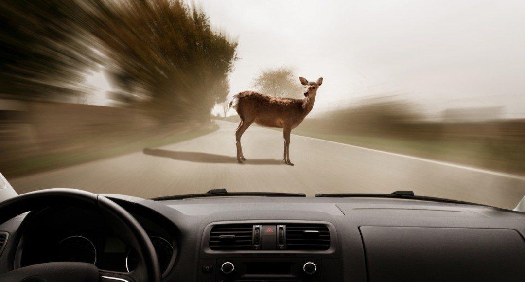 Así es como debes reaccionar si te topas con un animal en carretera